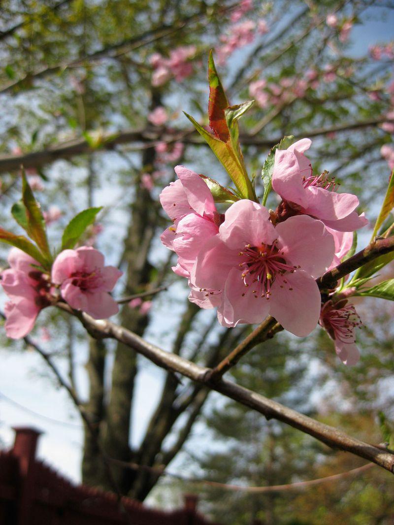 Peach-blossom2