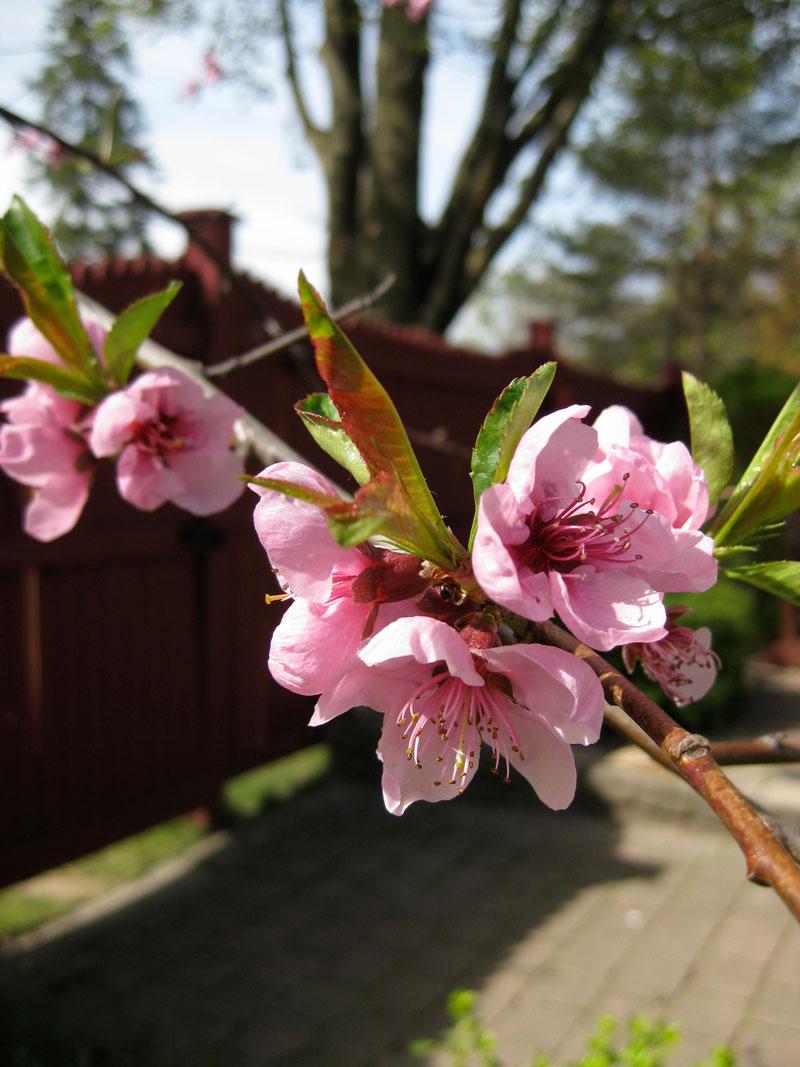 Peach-blossom1